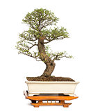 Chinese Elm bonsai tree, Ulmus, isolated on white