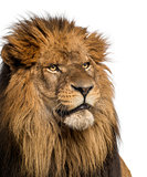 Close-up of a Lion, Panthera Leo, 10 years old, isolated on whit