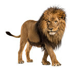 Side view of a Lion walking, Panthera Leo, 10 years old, isolate