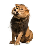 Lion sitting, shaking, Panthera Leo, 10 years old, isolated on w