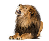 Lion lying, roaring, Panthera Leo, 10 years old, isolated on whi