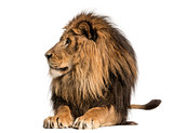 Lion lying, looking away, Panthera Leo, 10 years old, isolated o
