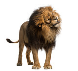 Lion standing, roaring, Panthera Leo, 10 years old, isolated on