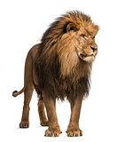 Lion standing, looking away, Panthera Leo, 10 years old, isolate