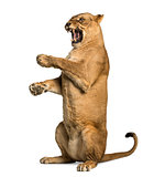 Lioness roaring, sitting on hind legs, Panthera leo, 10 years ol