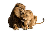 Lion and lioness cuddling, lying, Panthera leo, isolated on whit
