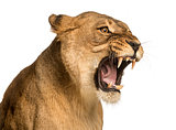 Close-up of a Lioness roaring, Panthera leo, 10 years old, isola