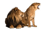 Lion with lioness roaring, next to each other, Panthera leo, iso