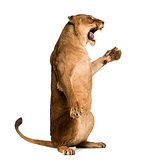 Side view of a Lioness roaring, sitting on hind legs Panthera le