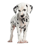 Front view of a Dalmatian puppy standing, isolated on white