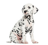 Side view of a Dalmatian puppy sitting, looking away, isolated o