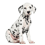 Side view of a Dalmatian puppy sitting, looking at the camera, i