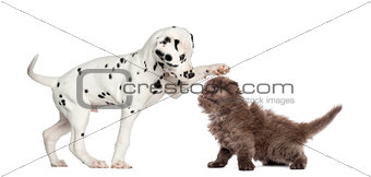 Dalmatian puppy and Highland fold kitten playing together, isola