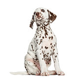 Front view of a Dalmatian puppy looking up, isolated on white