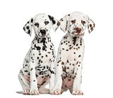Front view of Dalmatian puppies sitting, facing, isolated on whi