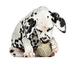 Front view of a Dalmatian puppy playing with a tennis ball, isol