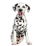 Front view of a young Dalmatian sitting, licking, isolated on wh