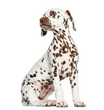 Side view of a Dalmatian puppy sitting, looking backwards, isola
