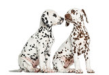 Dalmatian puppies sitting, sniffing each other, isolated on whit