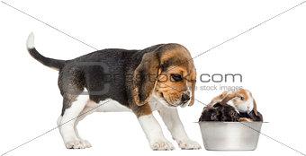 Beagle puppy looking at his bowl full of rabbits,