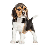 Front view of a Beagle puppy standing, looking at the camera, is