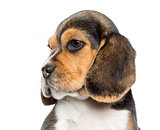 Close-up of a Beagle puppy's profile, isolated on white