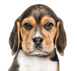 Close-up of a Beagle puppy looking at the camera, isolated on wh