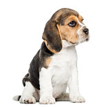 Beagle puppy sitting, isolated on white