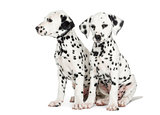 Two Dalmatian puppies, sitting next to each other, isolated on w