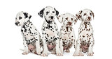 Group of Dalmatian puppies sitting, isolated on white