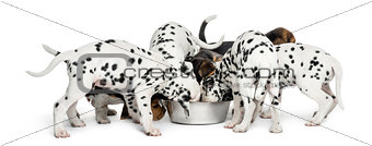 Group of Dalmatian and Beagle puppies eating all together, isola