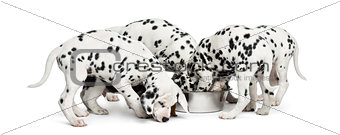 Group of Dalmatian puppies eating all together, isolated on whit