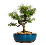 European larch bonsai tree, Larix decidua, isolated on white