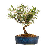 Honeysuckle bonsai tree, Lonicera caprifolium, isolated on white