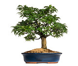 Japanese Maple or Shishigashira bonsai tree, Acer Palmatum, isol