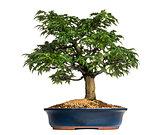 Japanese Maple or Shishigashira bonsai tree, Acer Palmatum, isol