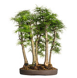 Golden larch, bonsai tree, pseudolarix amabilis, isolated on whi