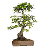 Hornbeams bonsai tree, Carpinus, isolated on white