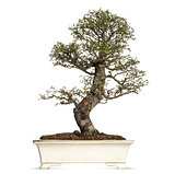 Elm bonsai tree, ulmus, isolated on white