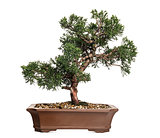Juniper bonsai tree, Juniperus, isolated on white