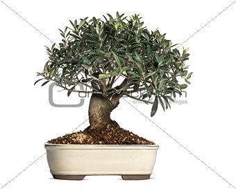 Olive, bonsai tree, olea europaea, isolated on white