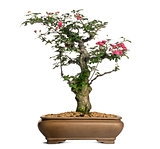 Hawthorn bonsai tree, Crataegus, isolated on white