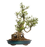 Serissa bonsai tree, Serissa foetida, isolated on white