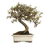 Cotoneaster bonsai tree, isolated on white