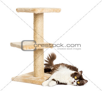British longhair lying down at the bottom of a cat tree, isolate