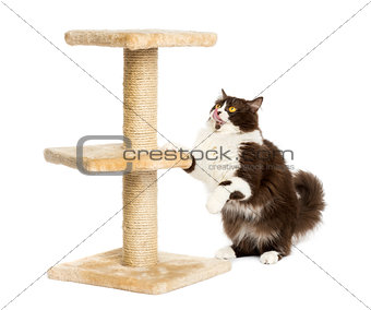 British longhair preparing to jump on a cat tree, isolated on wh