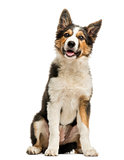 Border collie sitting and panting, isolated on white