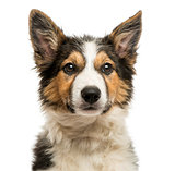 Close-up of a Border collie facing, isolated on white