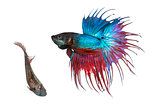 Male and female Siamese fighting fish in a courtship dance, Be