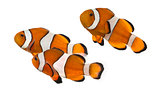 Group of Ocellaris clownfish, Amphiprion ocellaris, isolated on